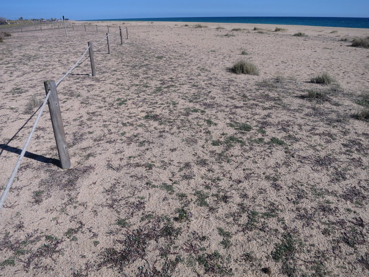 Sobre la vegetació psammòfila de les platges de Malgrat de Mar