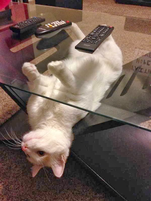 Funny cats - part 85 (40 pics + 10 gifs), cat under glass table