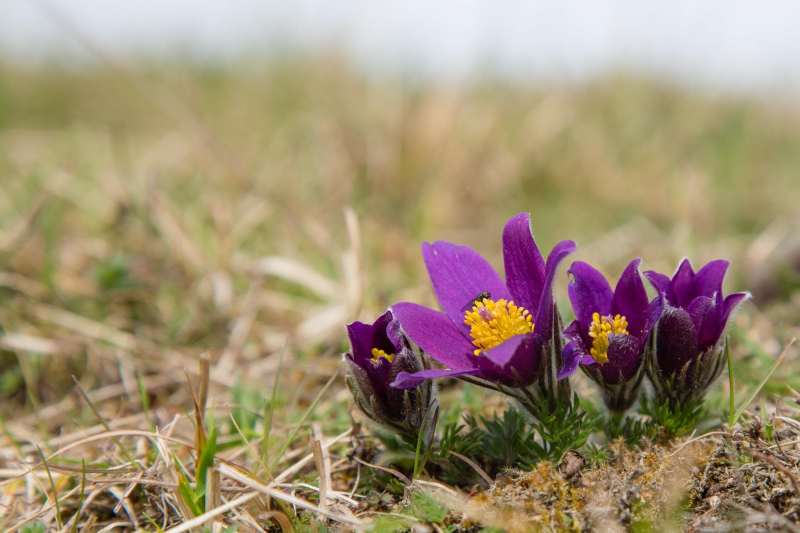 Pasque flower time again!! | Mollyblobs