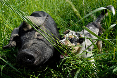 dog pig friends