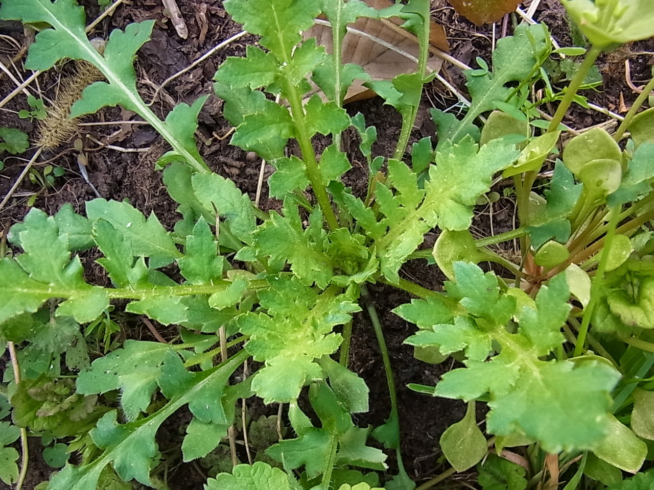 Monotarcie pommes de terre - Pomme de terre germee comestible ...