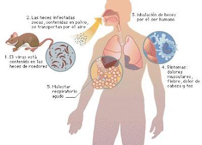 En esta imagen se puede observar como se transmite el virus de Lassa.