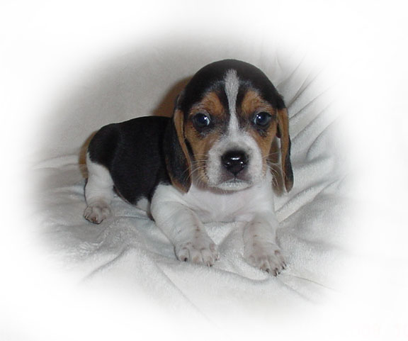 Cute Puppy Dogs: pocket beagle puppies