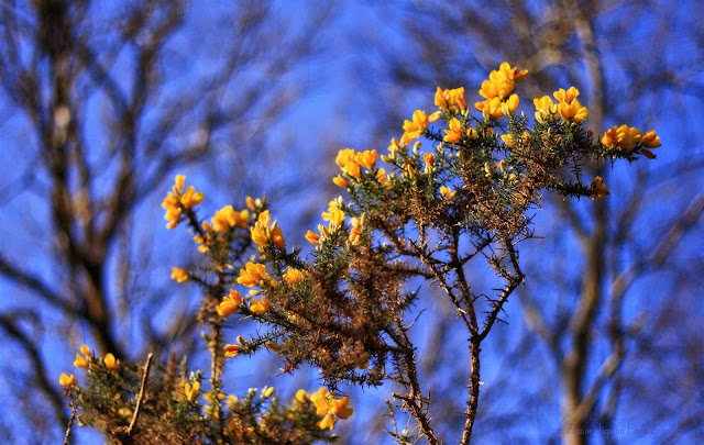 flowering gorse and blue sky