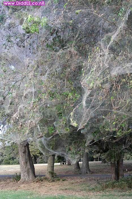 Biggest Spiders Web in The World