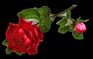 stock rose flower image