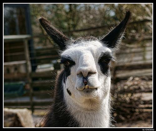 Llama Wallpaper: Funny Llama Pictures For Widescreen