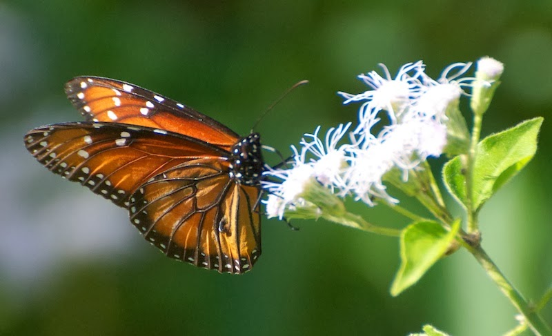 The Ruddy Daggerwing ( Marpesia petreus ) is a tropical butterfly that ... Queen Butterfly Vs Monarch