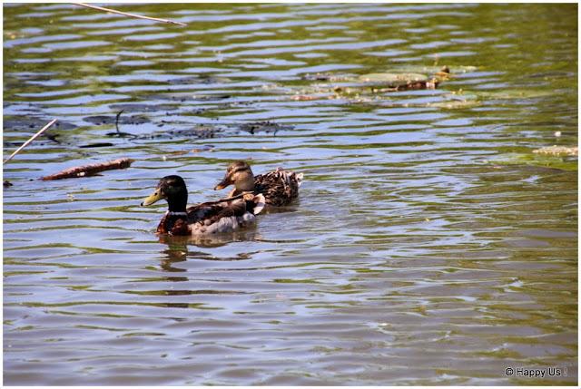 Marais audomarois - canards