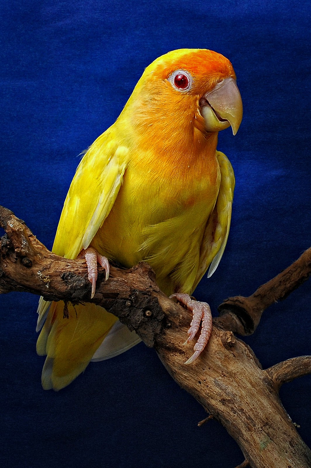 Tentang Burung di Indonesia: Gambar Burung Love Bird