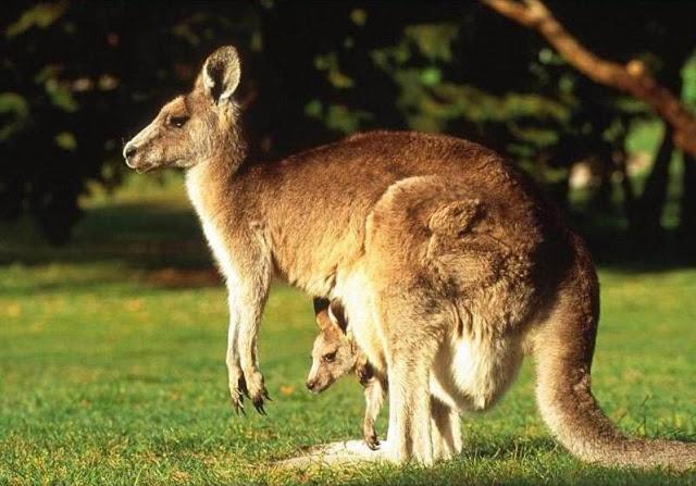 Taman Nasional Wasur Telah Kehilangan Kanguru