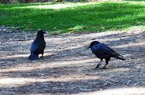 Una pareja de cuervos adultos