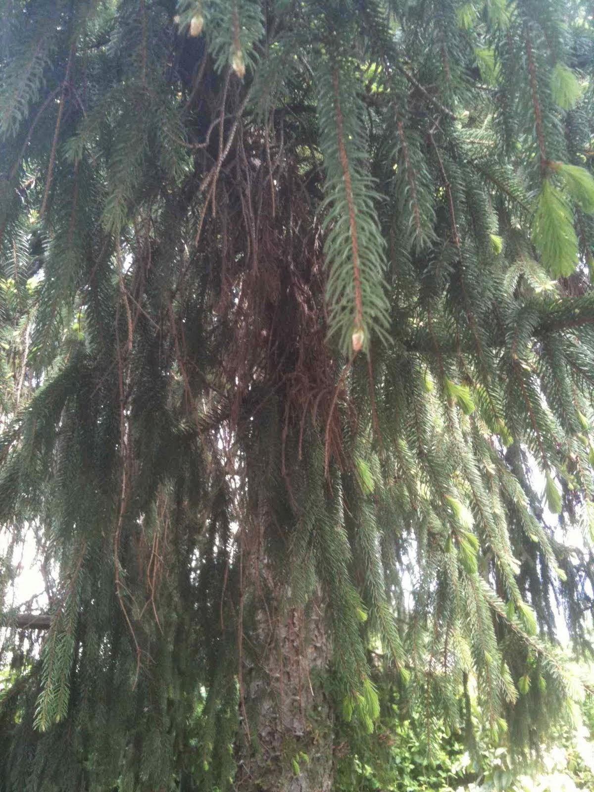 arbre sabi i gegantí