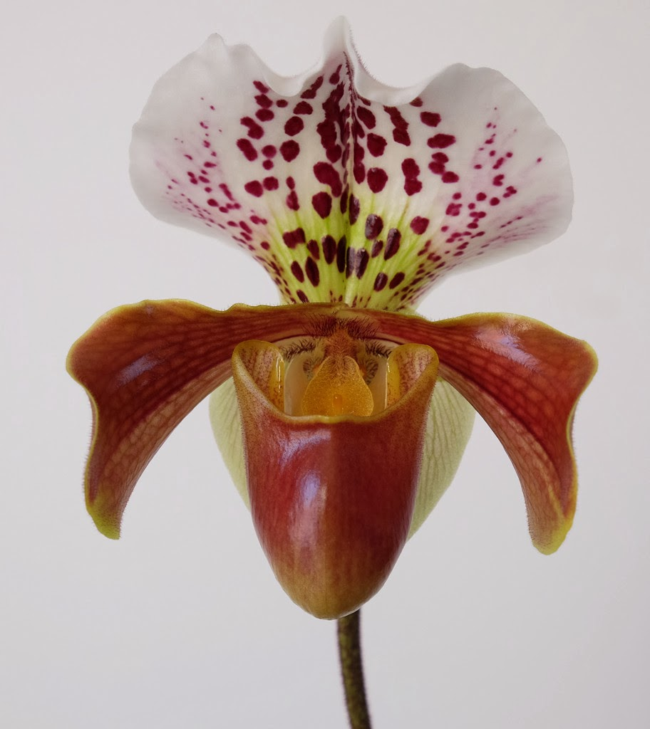 Je m 39 clate avec mes 10 doigts orchid e paphiopedilum ou - Orchidee sabot de venus ...
