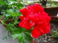 ウチに咲いてる花