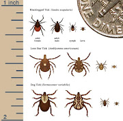 . cycle of three ticks: Blacklegged Tick, Lone Star Tick, and Dog Tick. (ticks)