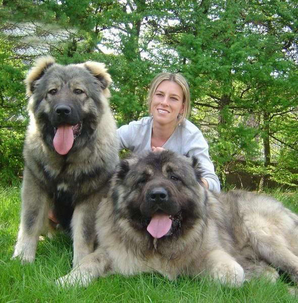 Kangfu Panda: King of Dogs Caucasian Shepherd