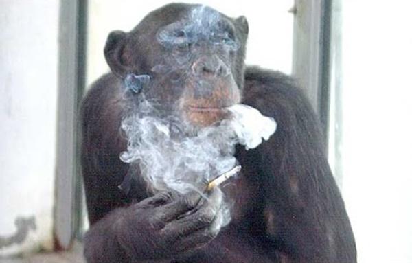 CERDIKNYA!! Tindakan Cimpanzi Ini Undang Tarikan Ramai