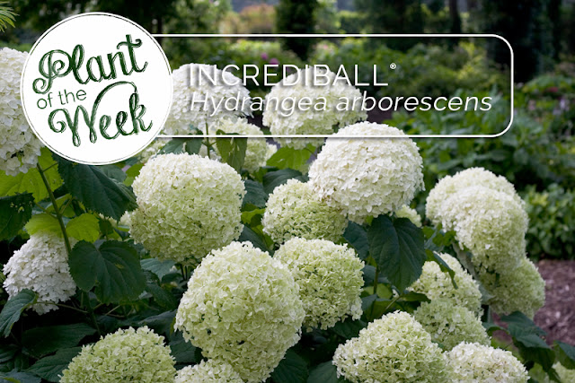 Plant of the Week: Incrediball smooth hydrangea