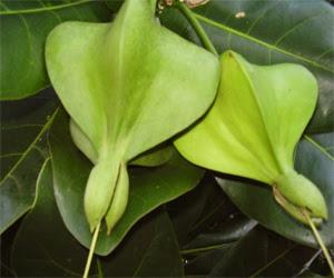 mengenal tanaman buah keben