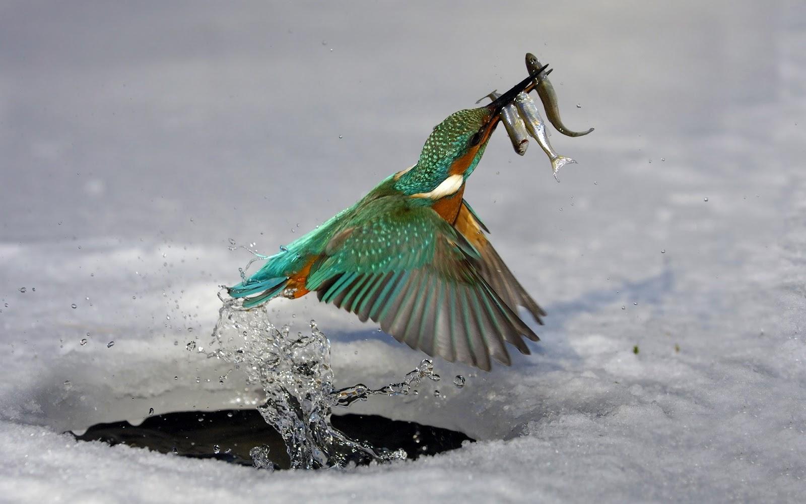 Must see Wallpaper High Quality Bird - Water_ice_birds_fish_kingfisher_wallpaper_of_2013  2018_75184.jpg