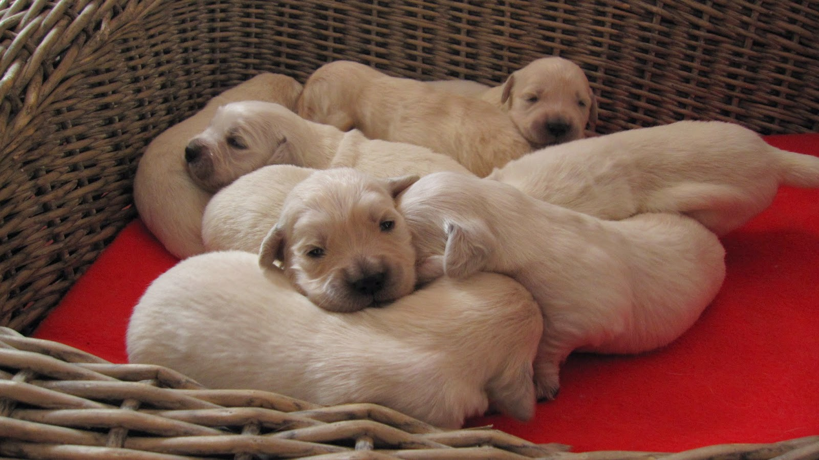 Piarki Puppies In Association With Golden Var Update 2 Puppies