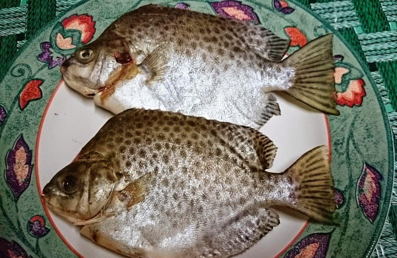 Aku la si Ikan Kitang