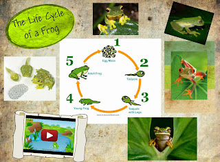 http://www.turtlediary.com/grade-2-games/science-games/frog-life-cycle.html