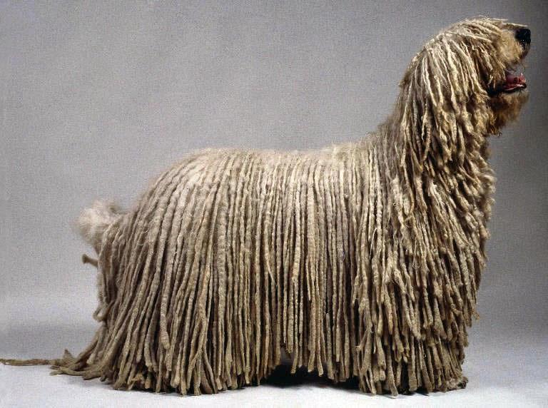 Dog Breed Looks Like Mop Dreadlocks