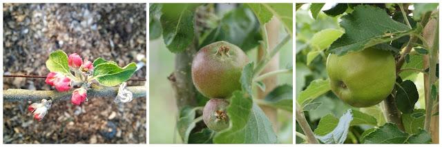 Ecklinville apple - 'growourown.blogspot.com'