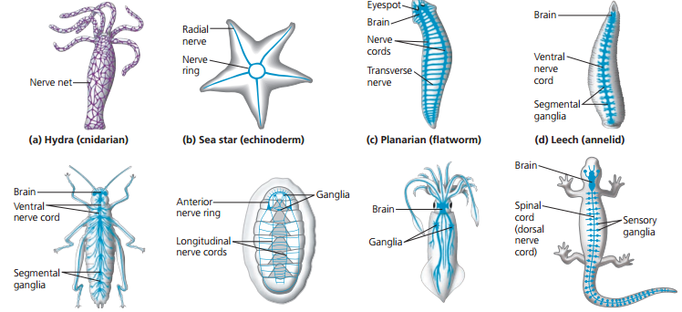 processus uncinatus vertebrae cervicalis