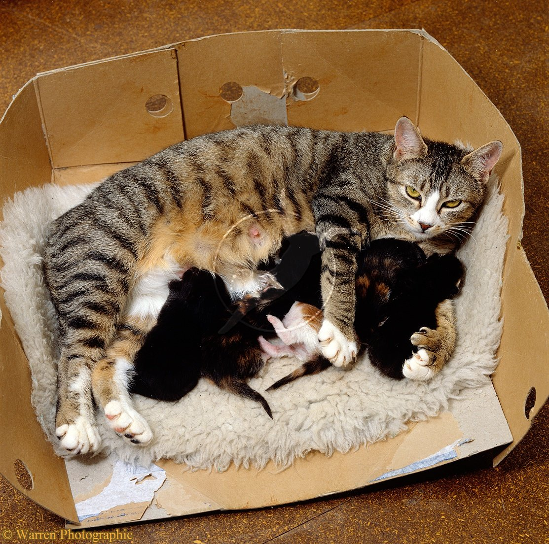 PolydactylOrange Polydactyl Cat