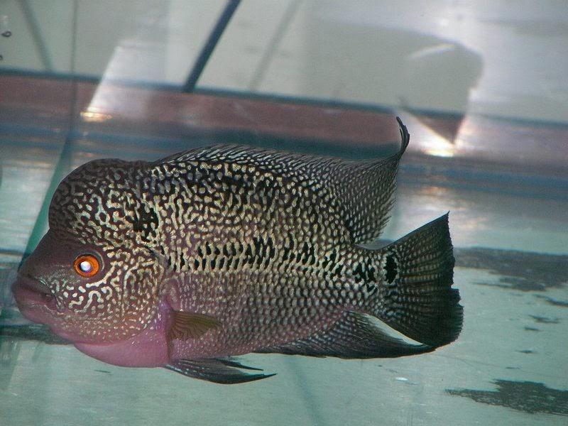 jual ikan louhan tokobagus
