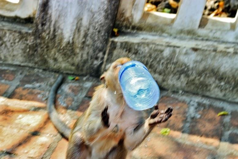 Affen trinken aus wasserflasche, tempelaffen klauen wasserflasche, affe trinkt aus einer wasserflasche, monkey drinks from a water bottel, monkey steals a water bottle, monkey trys to drink out of a bottle, babyaffe versucht aus einer wasserflasche zu trinken, süßer babyaffe versucht aus einer wasserflasche zu trinken.