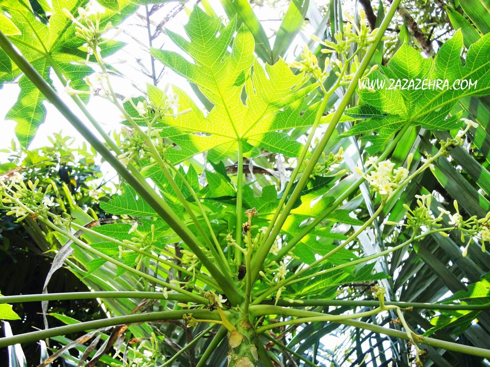 Kerabu Pucuk Bunga Betik, kerabu bunga betik, resepi kerabu bunga betik
