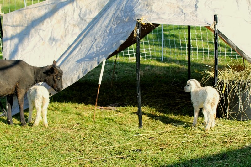 tarp tent for the ewes and lambs
