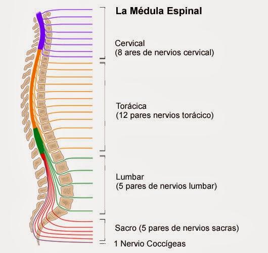 Características y funciones de la médula espinal | Ciencias Naturales