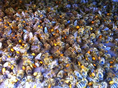 http://4.bp.blogspot.com/-xV-H3cU5glo/VRlvnF1sX7I/AAAAAAAAF1c/fCRWvmdBKOc/s1600/dead_bees.jpg
