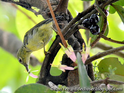 Female Olive-backed Sunbird (Cinnyris jugularis) on Pink-flowered Mistletoe (Macrosolen retusus)