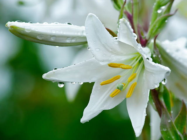 Flores Blancas - White Flowers