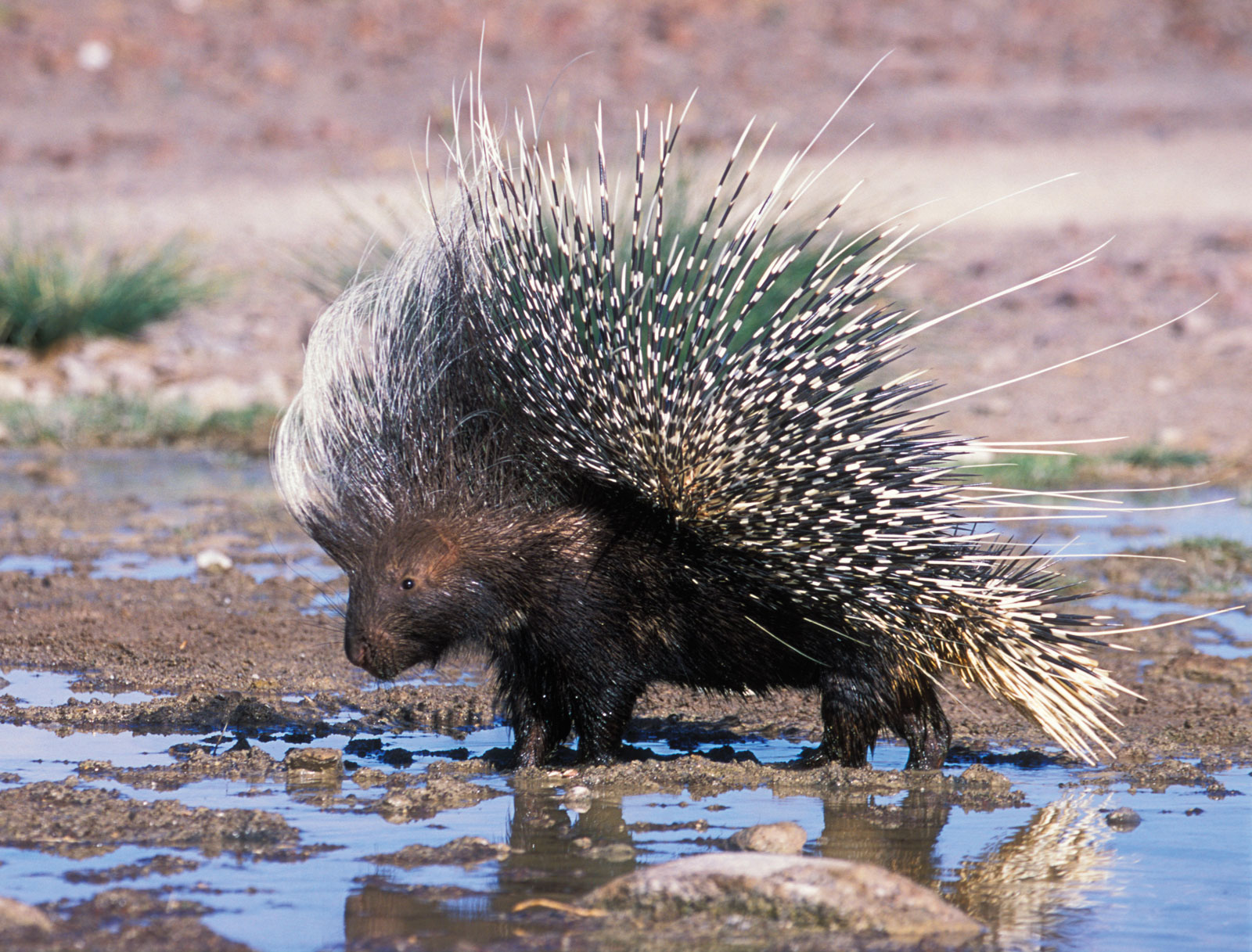 ... porcupines erethizontidae interspersed with hair feathers individually