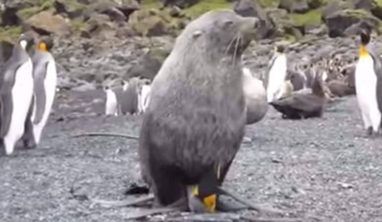 Seal forcefully coerces with penguin