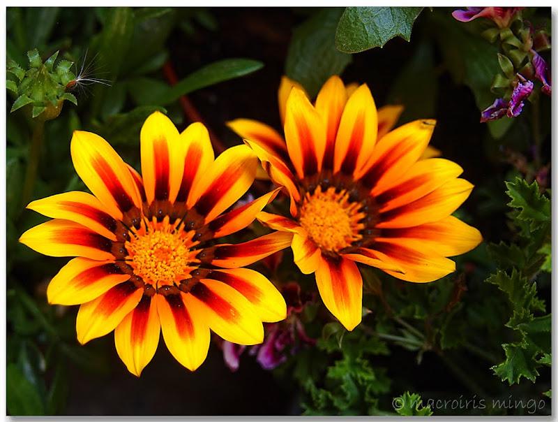 Macroiris gazania bracteata for Plantas ornamentales wikipedia