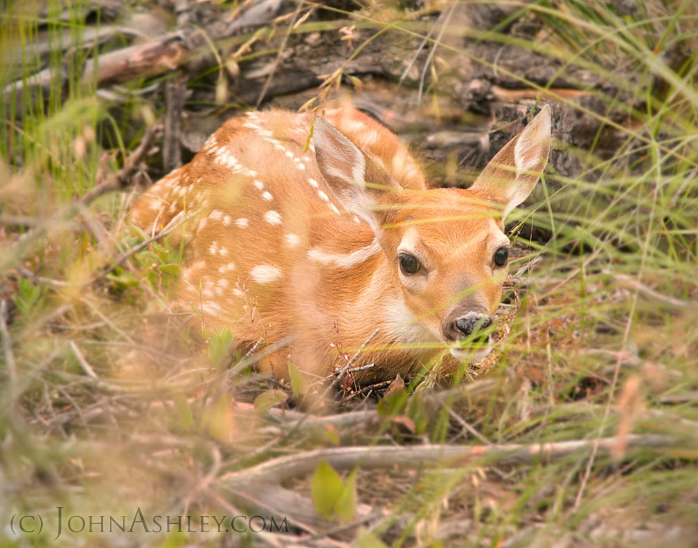 Spotted fawn (c) John Ashley