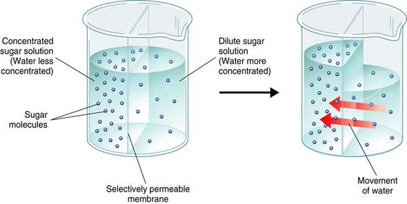 Osmosis Definition MadeyE's Sm...