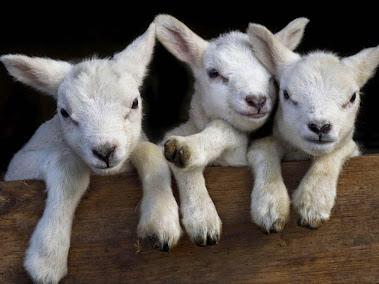 バックルバリーの生後2日の山羊 (♂ x 1+♀ x 2)