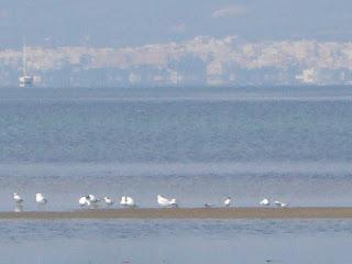 Delta De L'Ebre seagulls - Sant Carles de La Rápita