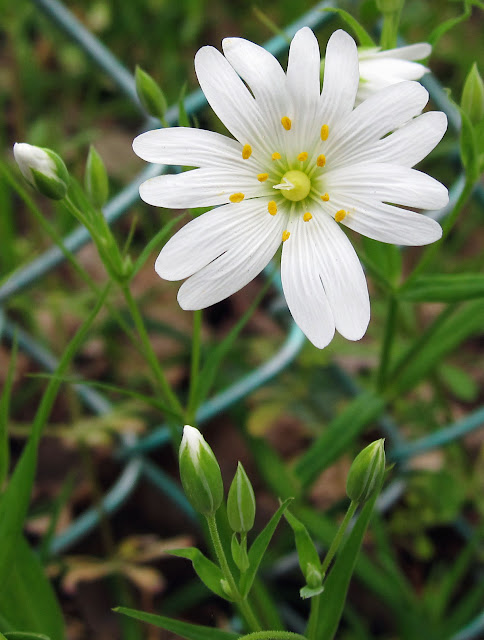 Greater stitchwort, Stellaria holostea, flowering in Hayes. 15 April 2011. It normally has five petals, but several flowers in this patch had six.