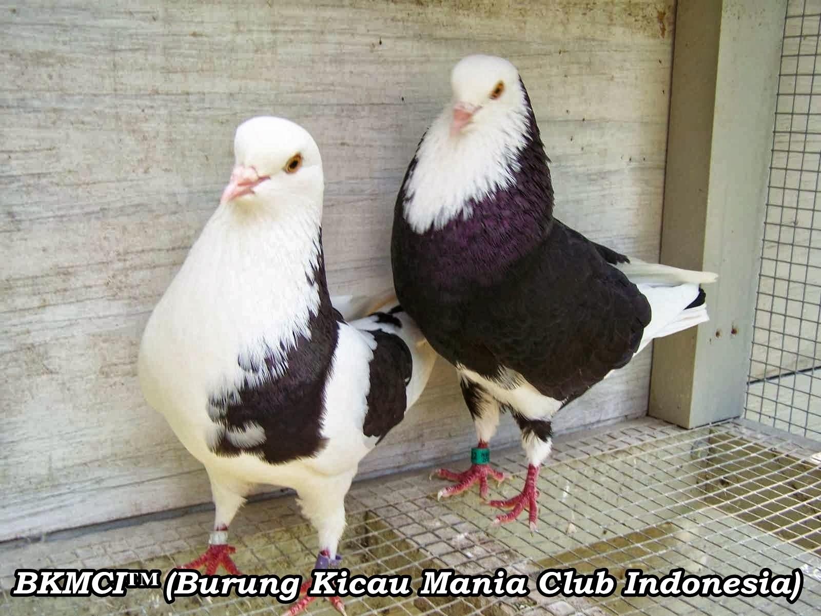 foto merpati balap - gambar hewan