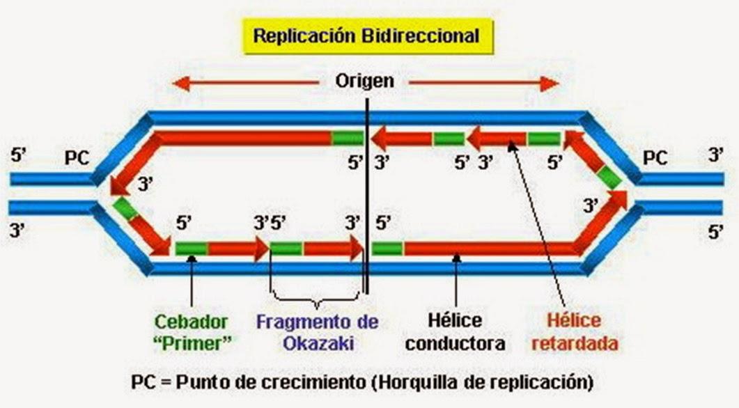 Ácido desoxirribonucleico (ADN)   Apuntes de Bioquímica